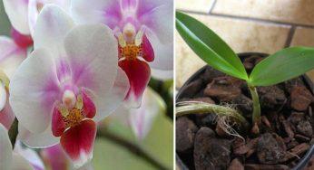 Voici les secrets pour faire refleurir une orchidée fanée