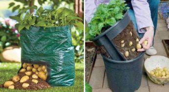 Cultiver des pommes de terre en appartement : comment faire ?