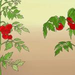 Astuces pour planter des Tomates