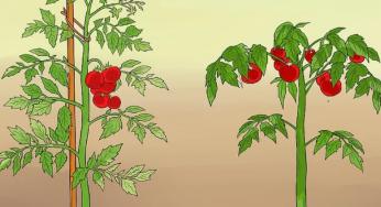 5 Astuces Pour Faire Pousser Plus de Tomates
