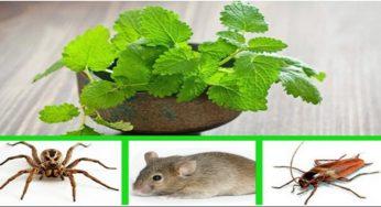 La menthe permet d'éloigner les souris, les araignées et les insectes de votre maison